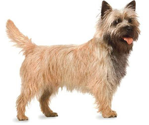 312695bf9a8 Norwich Terrier and Cairn Terrier - what is the difference