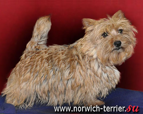 Norwich terrier, picture
