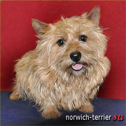 Norwich Terrier, photo