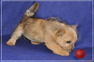 Norwich Terrier puppy, phpto