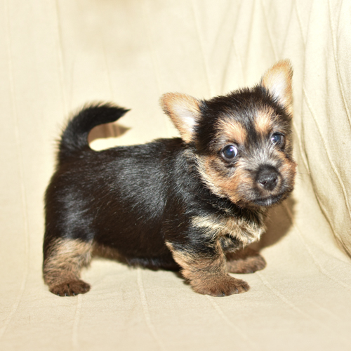 Puppy of Norwich Terrier, photo